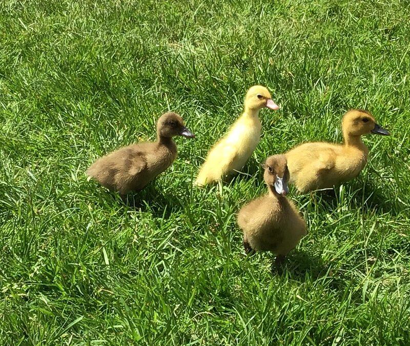 Ducklings 2021